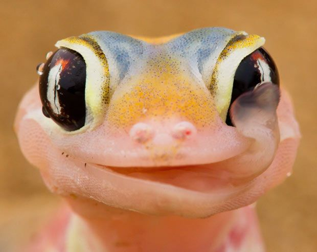 A gecko licks the morning dew off its eyeballs. This gecko is found on coastal sand dunes in Namibia.  Photo by Isak Pretorius