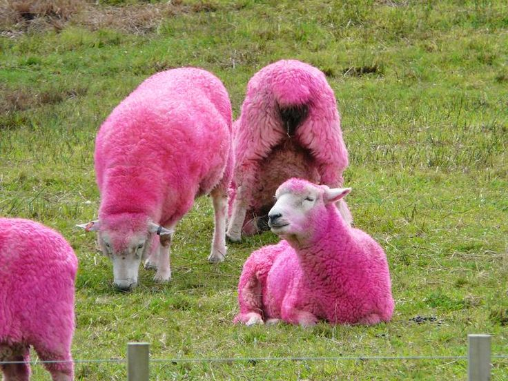 Schafe Lustig