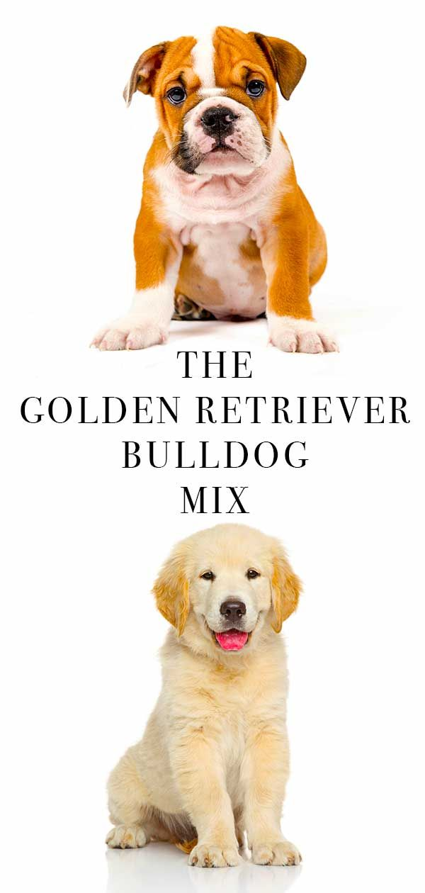 Golden Retriever Bulldog Mix Funny Dog Photos Cartoon Dog Cute