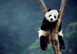 panda are relaxing lol