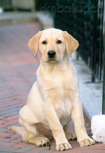 yellow lab. I said I'd never get a big dog, but this makes me re-think.                                                                                                                                                                                 More