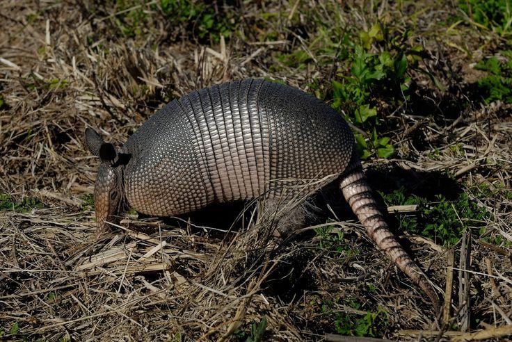 Tatu-galinha: o tatu-galinha sai á noite fuçando folhas secas caídas no chão em busca de alimentos, que na maioria das vezes são larvas de insetos.