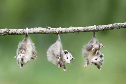 opossums!!