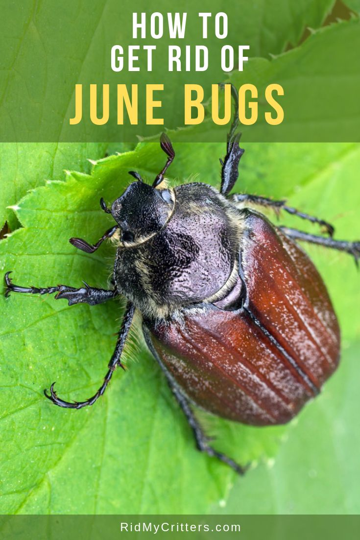 How to Get Rid of June Bugs (BEFORE They Destroy Your Yard ...