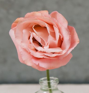 """Arena III Apricot Lisianthus  Unusually colored blooms are reminiscent of an antique tea rose.2-3"""", fully-double flowers are a soft, pale apricot color. Lisianthus is also known as prairie gentian, Texas bluebell, and showy prairie gentian. Ht. 24-36""""."""