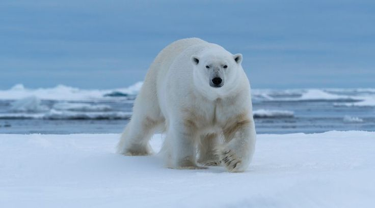 Urso polar: essa espécie é a primeira a ser afetada pelo aquecimento global, que afeta negativamente seu habitat natural e os coloca em grave risco de extinção.