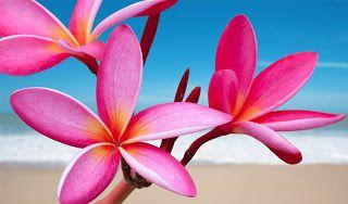 Bunga Kamboja Pink