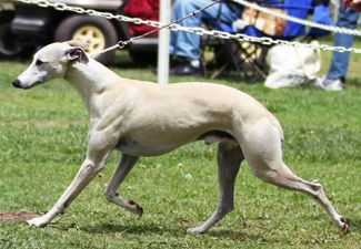 Summit Whippets : Whippet Breeder, Whippet Puppies, Fallbrook ...
