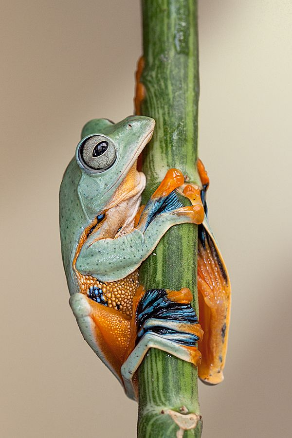 "Rhacophorus is a genus of frogs which together with the related Hylidae makes up the true tree frogs. They live in India, Japan, Madagascar, Africa, and Southeast Asia. These frogs have long toes with strong webbing between them, enabling the animals to slow their fall to a glide. They are therefore commonly known as ""flying frogs""."
