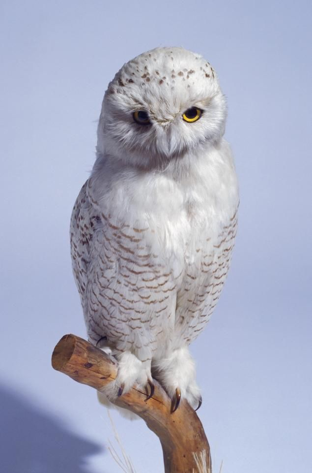 Port Authority 'wildlife specialists' hunt snowy owls at ...