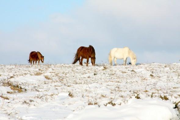 Dartmoor ponies in Devon, UK.