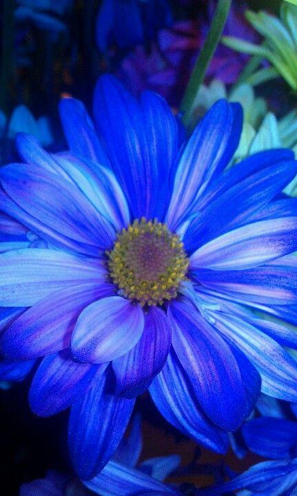//Blue daisy. #flowers