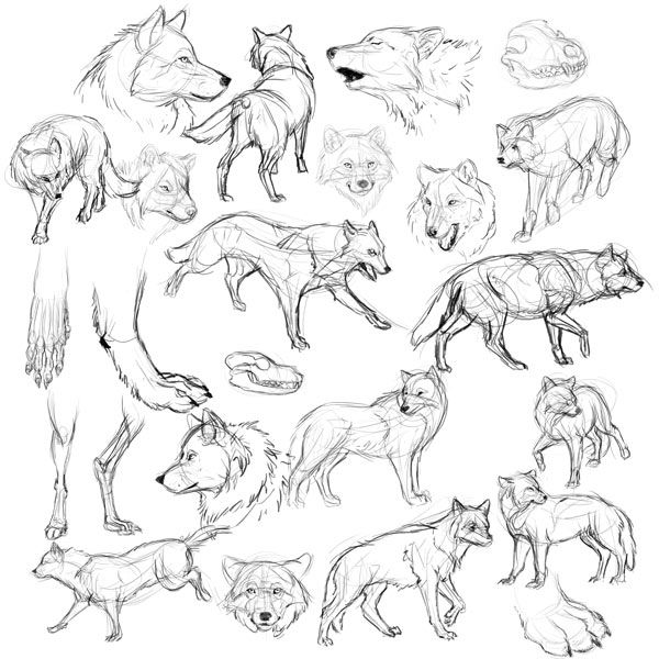 lobo estudar como desenhar lobos