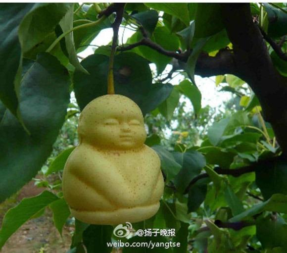 A pear looks just like 人参果/人参娃娃  http://rocketnews24.com/2013/03/16/304598/#  香を嗅ぐだけで360歳まで寿命がのび、一個たべると4万7千年生きるといわれる、かの西遊記に出てくる人参果そっくり、と。  https://twitter.com/kaokaokaokao/status/312819683596328963/photo/1