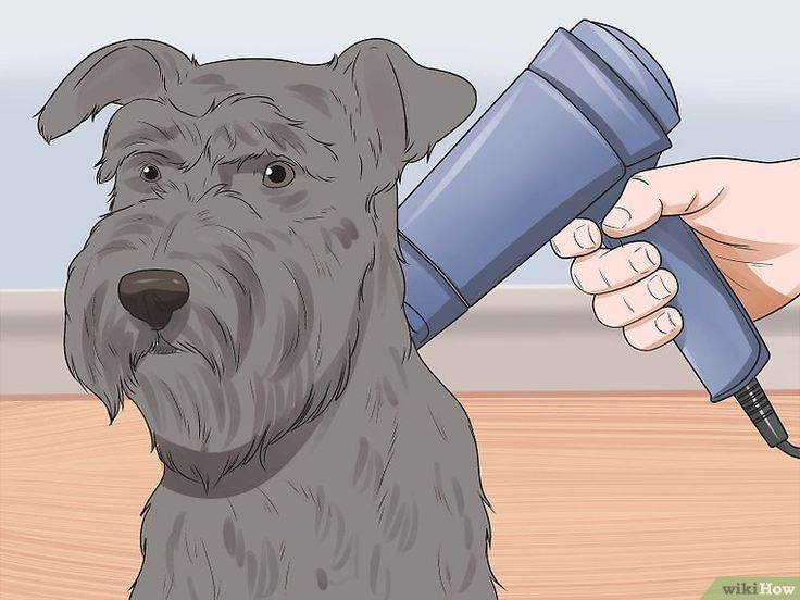 How to Groom a Miniature Schnauzer: 13 Steps (with Pictures)