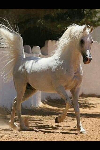 White grey Arabian with tail held high! Awesome♥ Beautiful horse!