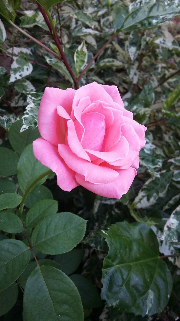 Rosa cor de rosa... natureza perfeita