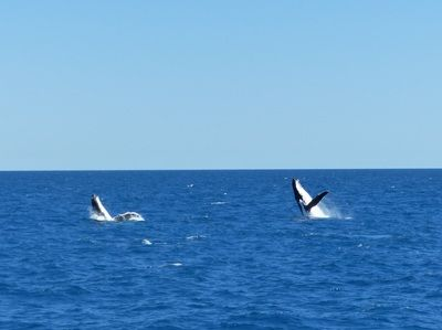 Whale Watching Hervey Bay. A beautiful day out for the kids. Family travel and outings with kids.  http://www.thewanderingmum.com/day-trips-and-outings/whale-watching-hervey-bay