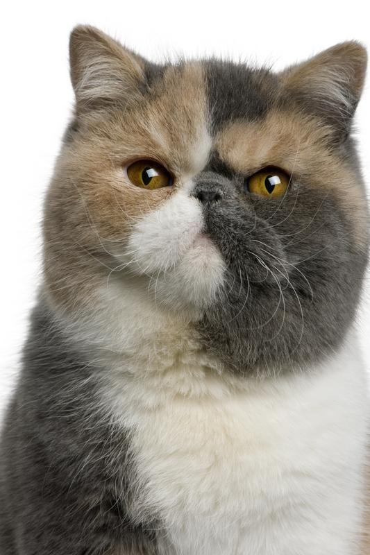 Exotic persian cat names