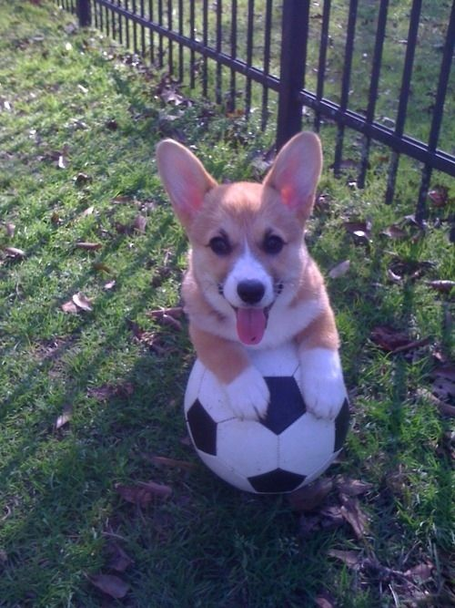 14 Reasons Why Corgis Are The Smartest Animals In The World