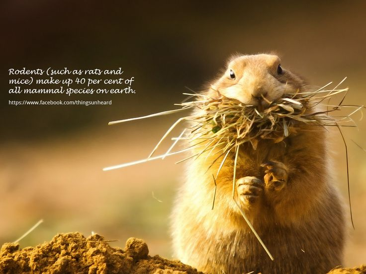 Rodents (such as rats and mice) make up 40 per cent of all mammal species on earth.