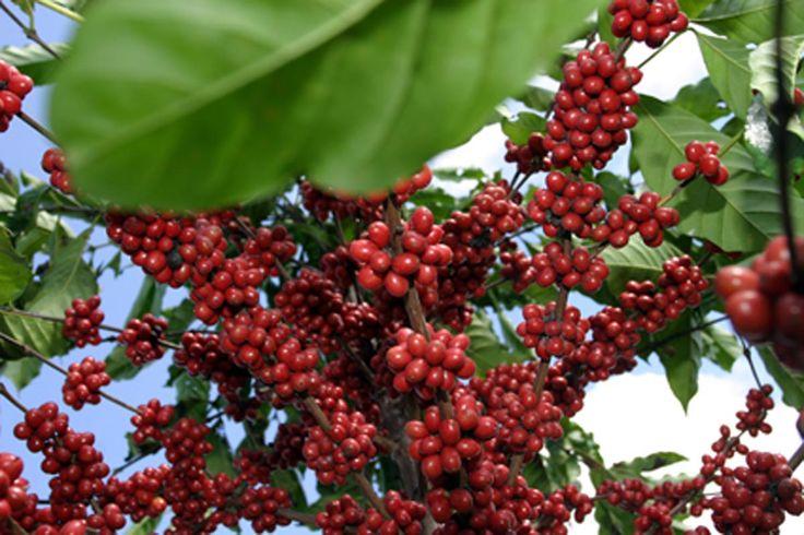 Conab estima produção de café deste ano em 46 a 50 milhões de sacas - Jornal Diário dos Campos