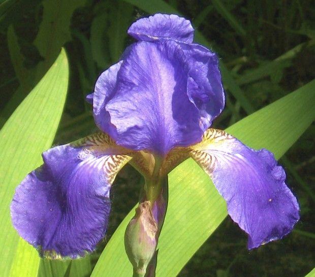 Iris Is Toxic To Pets Pet Poison Iris Rhizome
