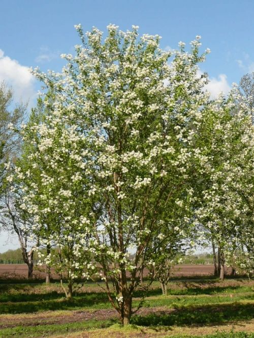 Prunus maackii 'Amber Beauty' #flowering #tree #trees www.vdberk.co.uk