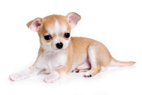 Chihuahua- Jolie and I love this pup so much! This is the doggy we want next. :)