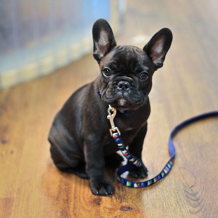 17 best images about frenchie love on pinterest puppys too cute and bulldog puppies. Black Bedroom Furniture Sets. Home Design Ideas