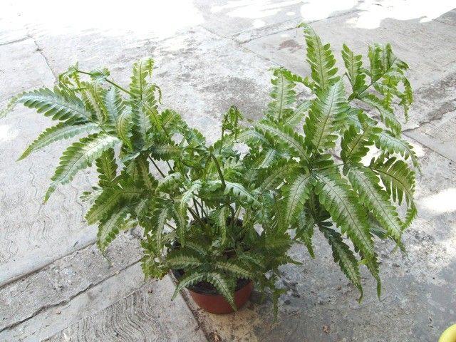 17 best images about varens ferns foug re shida rui on pinterest a start plant sale and mists. Black Bedroom Furniture Sets. Home Design Ideas