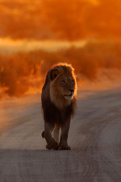 African Lion in Glowing Evening time
