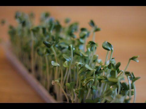 Toutes les graines germées ! www.regenere.org - YouTube