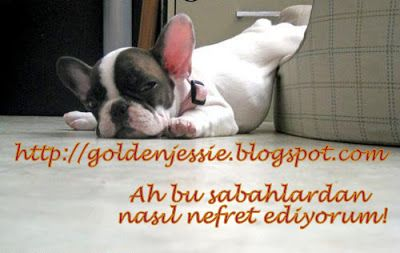 Komik Köpek Resimleri..:) | Golden Retriever Jessie