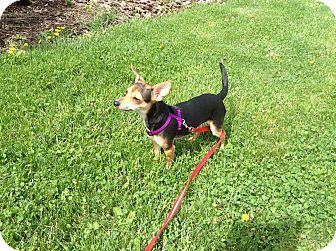 Washington, PA Chihuahua/Dachshund Mix. Meet Brody, a