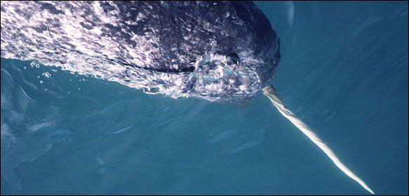 """The Narwhal: """"a team of scientists from Harvard and the National Institute of Standards and Technology has now made a startling discovery: the tusk, it turns out, forms a sensory organ of exceptional size and sensitivity, making the living appendage one of the planet's most remarkable, and one that in some ways outdoes its own mythology. The find came when the team turned an electron microscope on the tusk's material and found new subtleties of dental anatomy. The close-ups showed that 10…"""
