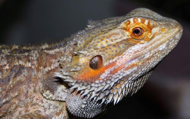 Dragão Barbudo - Bearded Dragon (Pogona Vitticeps - Australia)