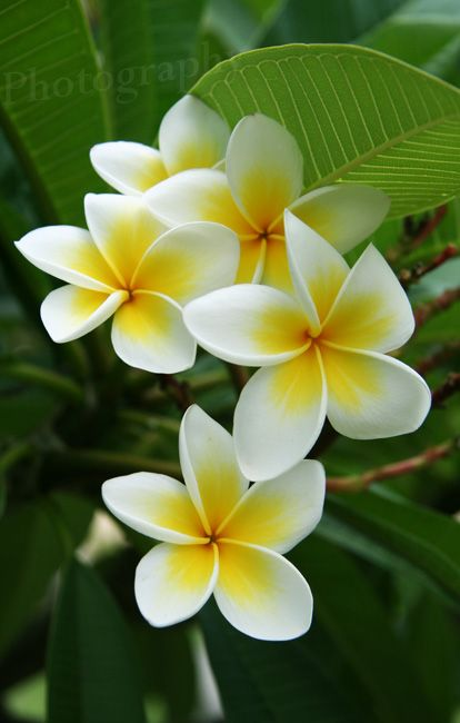 Hawaii. I will never forget the smell of Plumeria.