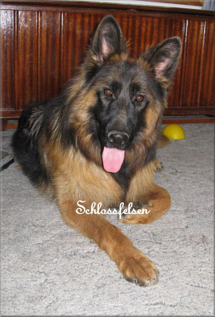 Long Coat German Shepherd, Quero