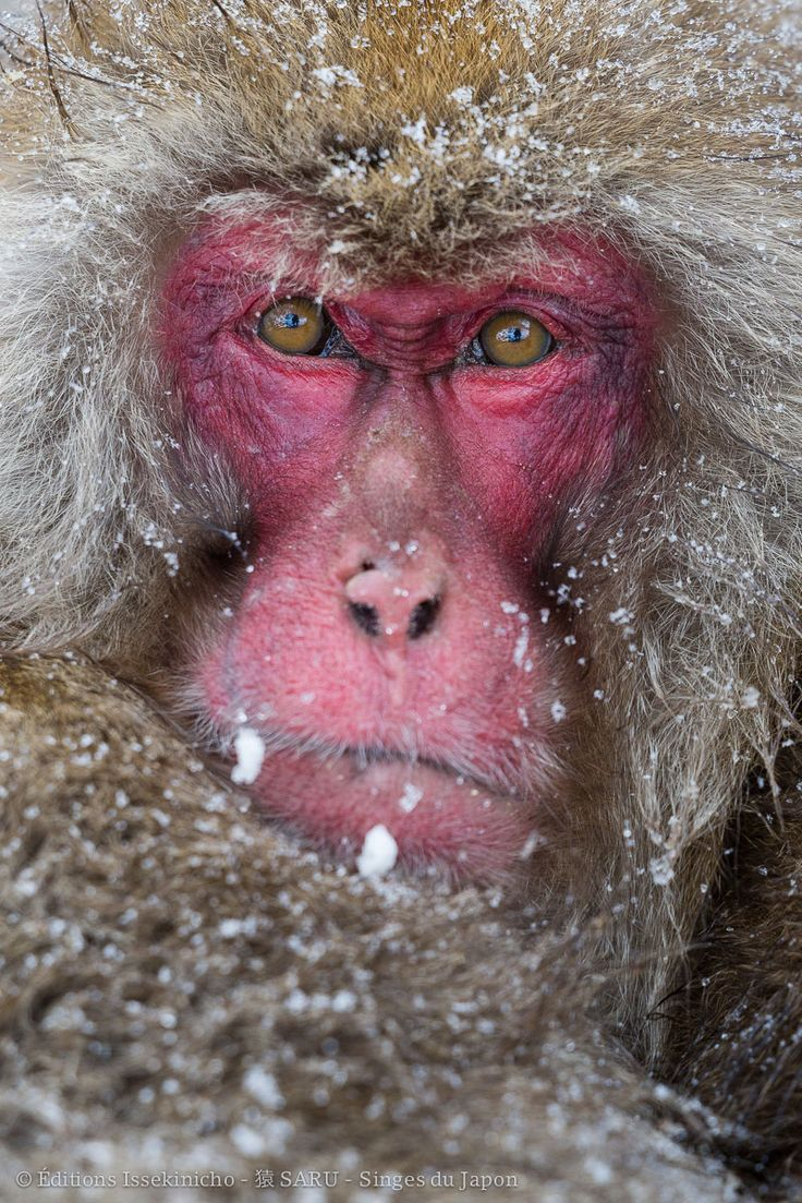 """Macaque japonais pendant une tempête de neige à Jigokudani - Photo extraite du livre """"Saru, singes du Japon"""" Editions Issekinicho 2016"""