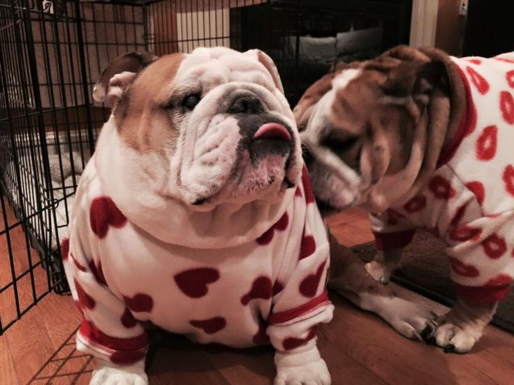 ❤ Definitely sweatshirt weather & some snuggles in those snazzy 'jammies! ❤ Posted on Bulldog Pics