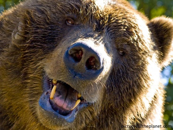 62 besten bear Bilder auf Pinterest | Grizzlybären, Braunbären und ...