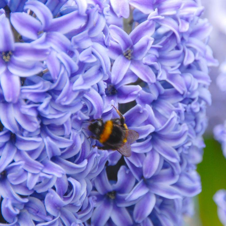 Hyacinthus orientalis 'Blue Jacket' - die blaue Hyazinthe lockt mit ihrem frühlingshaften Duft Hummeln und Bienen an. Die Blumenzwiebeln werden im Herbst gepflanzt - im Garten oder in ein Pflanzgefäß für Balkon oder Terrasse - online erhältlich bei www.fluwel.de
