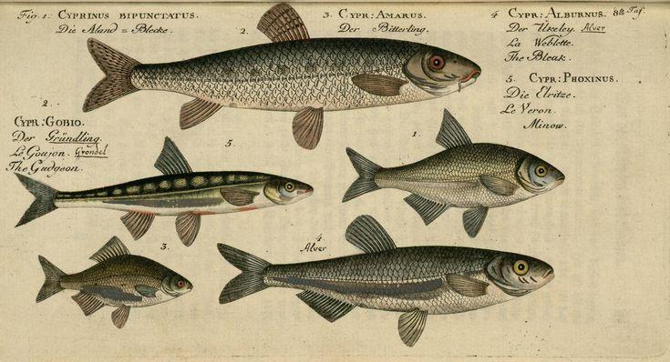 Cyprinus spp. fish from Oekonomische Naturgeschichte der Fische Deutschlands