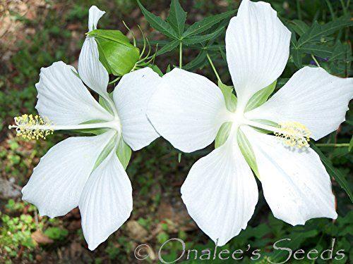 10+ Texas Star White Hibiscus Seeds, H Coccineus Alba ona... https://www.amazon.com/dp/B00U87LE5U/ref=cm_sw_r_pi_dp_x_tyFVybQTYWZB5