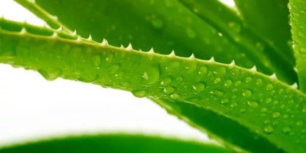 Tudo sobre a babosa: benefícios, contraindicações e 15 usos