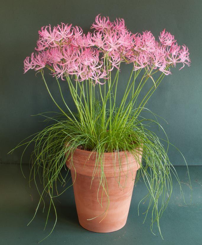 Nerine filifolia - Nerine Lily