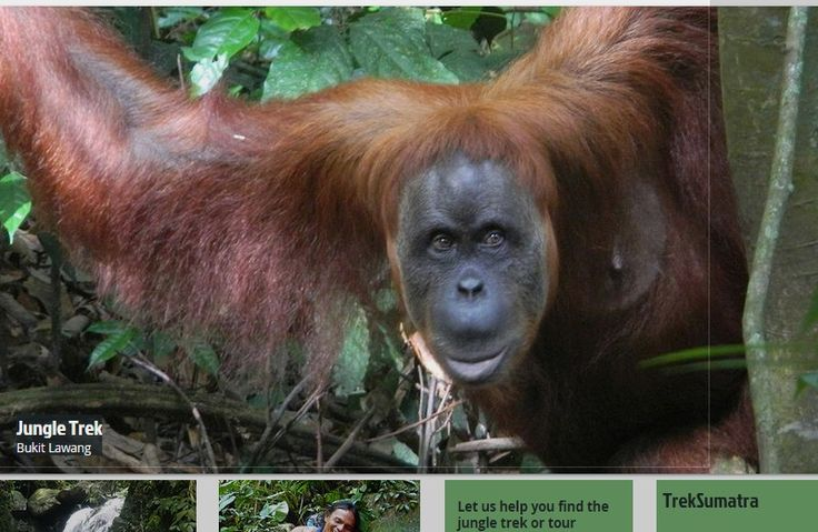 Large Female Orangutan on Jungle Trek with TrekSumatra