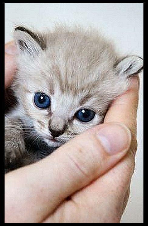 sweet and fluffy RAGDOLL KITTY CAT  quelle: w w w . zelkovaragdolls . com