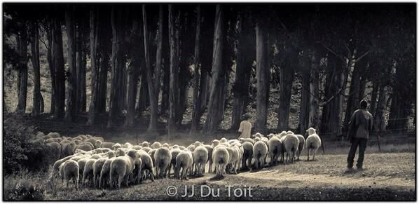 #Karoo Sheep